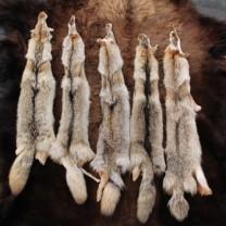 Piel de Coyote Americano