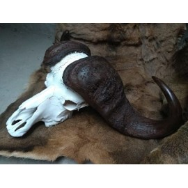 Great cape buffalo skull