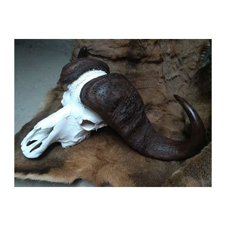 Gran cráneo de Búfalo del Cabo