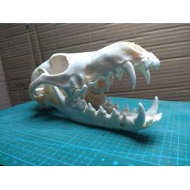 Cráneo de coyote